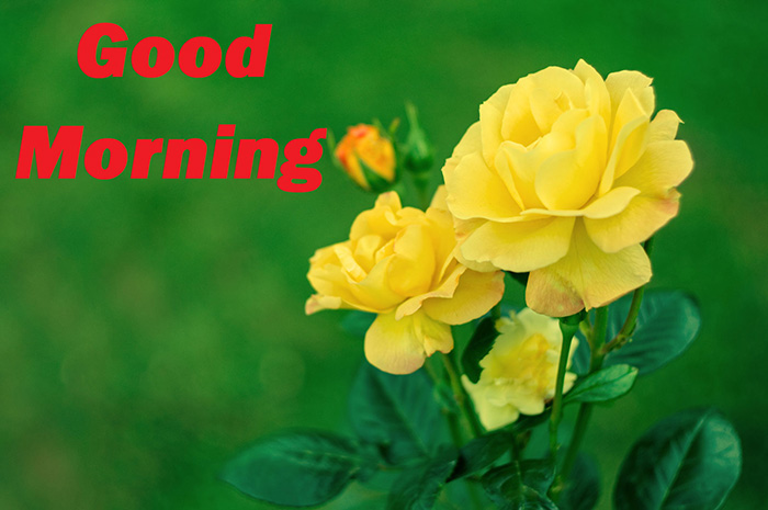 good morning with yellow rose