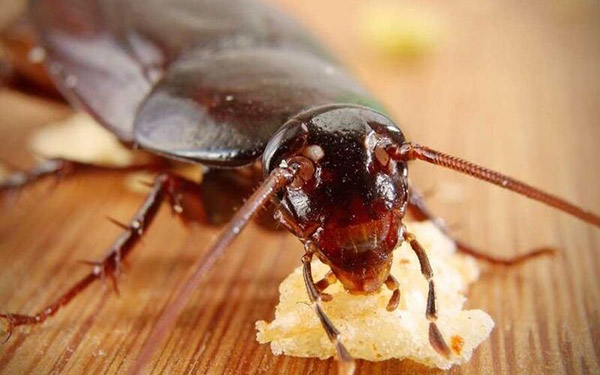 Cockroaches eat