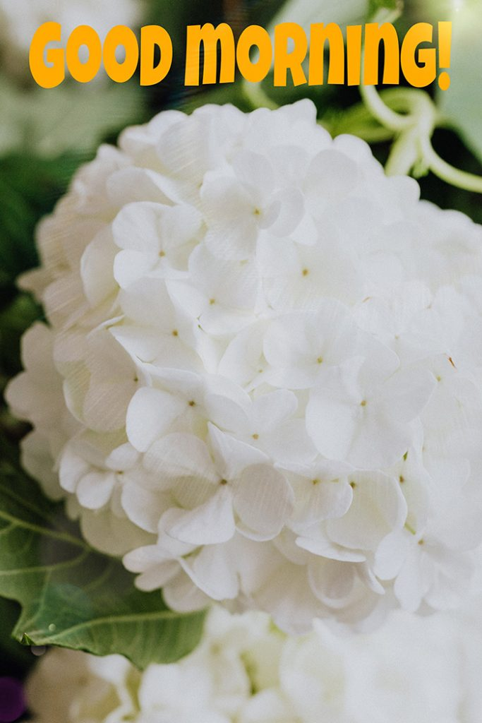 Good morning image with white hydrangea