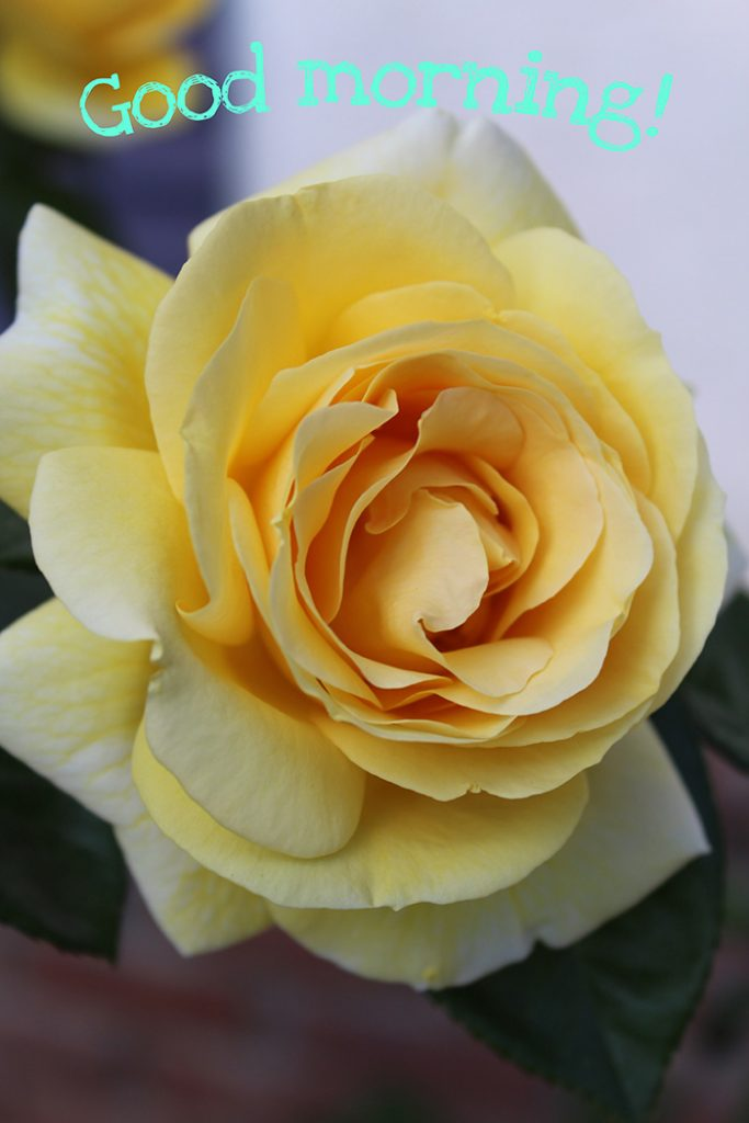 Good morning image with yellow rose
