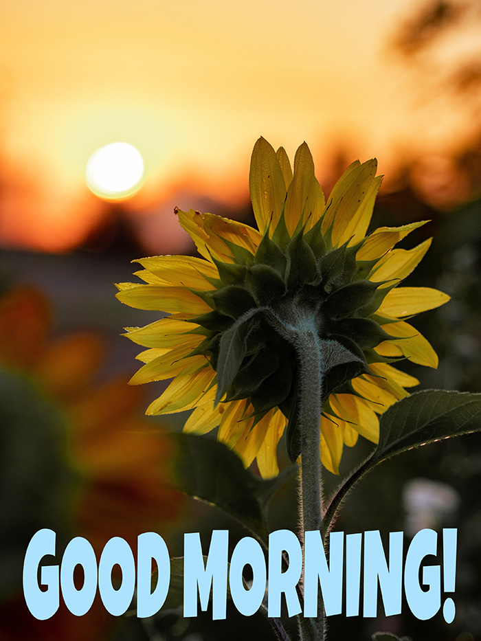 Good morning image with sunflower