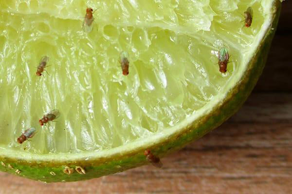 How to get rid of fruit flies with lemon
