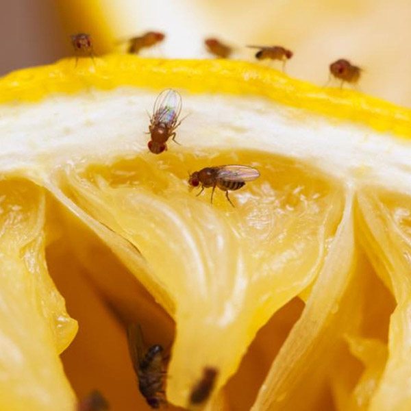 How to get rid of fruit flies without vinegar