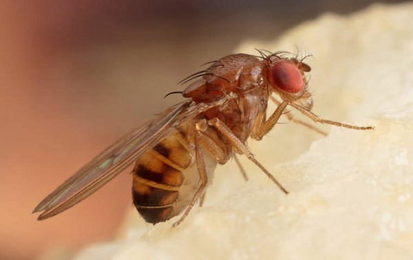 Where do we find fruit flies' lair