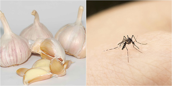 get-rid-of-mosquitoes-with-garlic