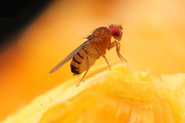 how-to-get-rid-of-fruit-flies-with-white-vinegar