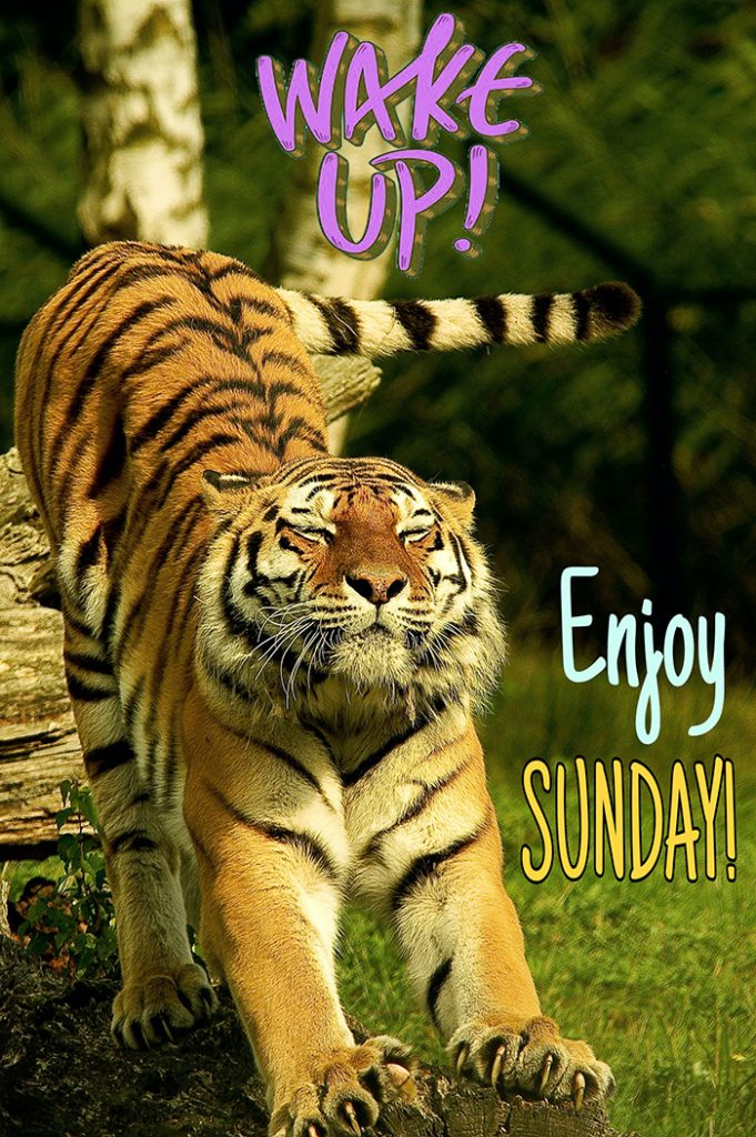 Good morning sunday with tiger