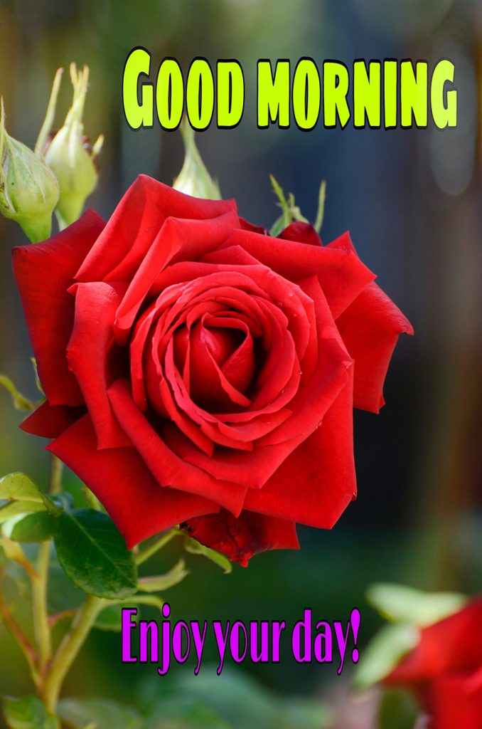 Good morning enjoy your day with red rose image