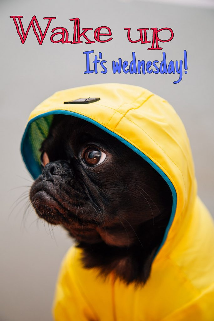 Good morning wednesday image with dog in yellow shirt