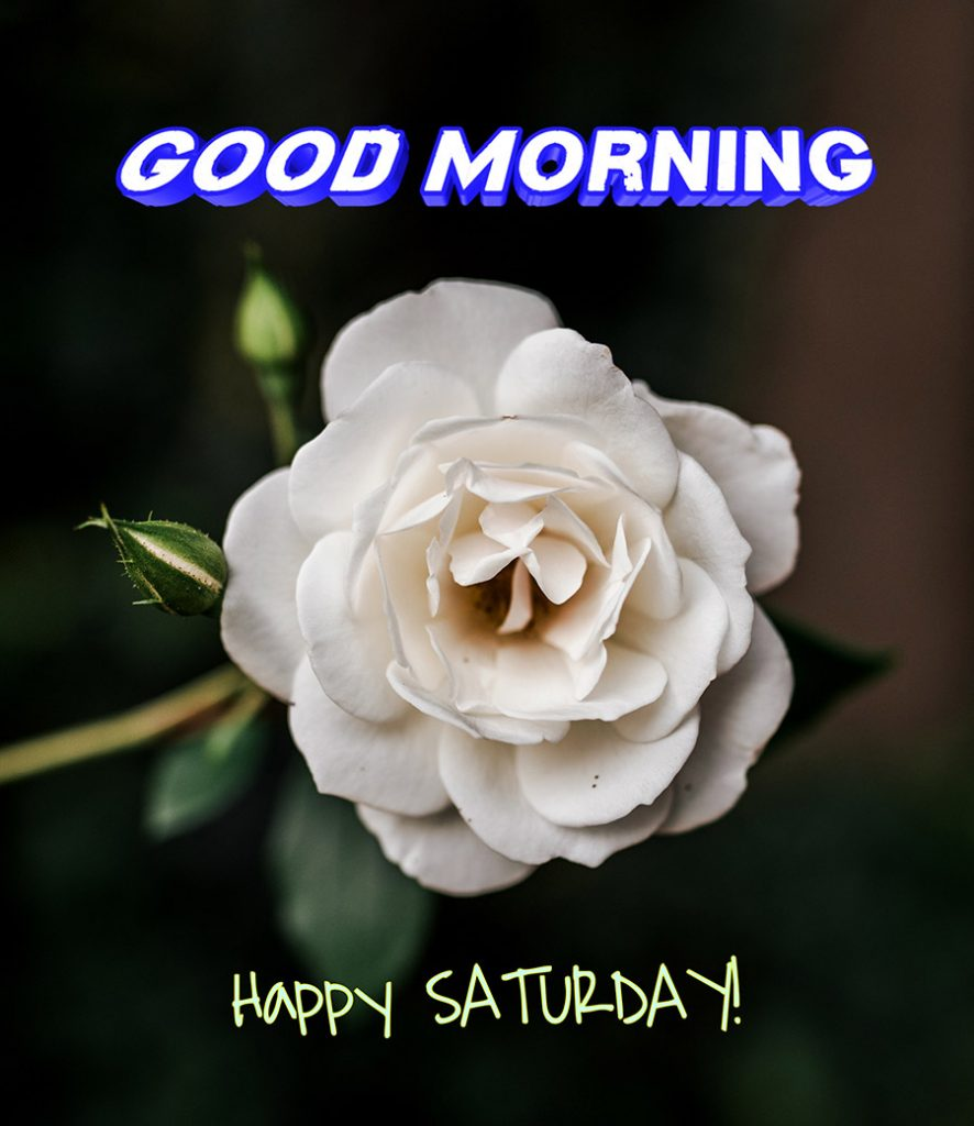 Good morning saturday image with white rose