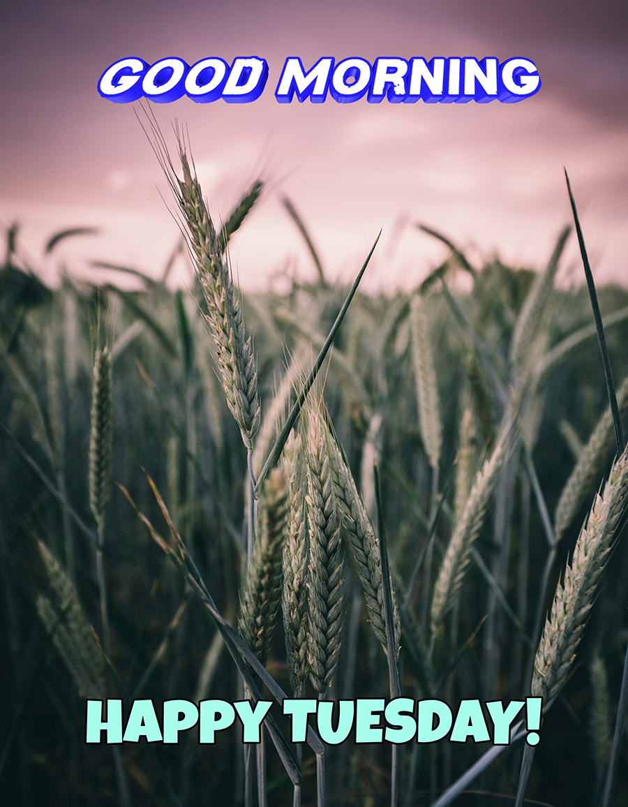Good morning tuesday image with wheats