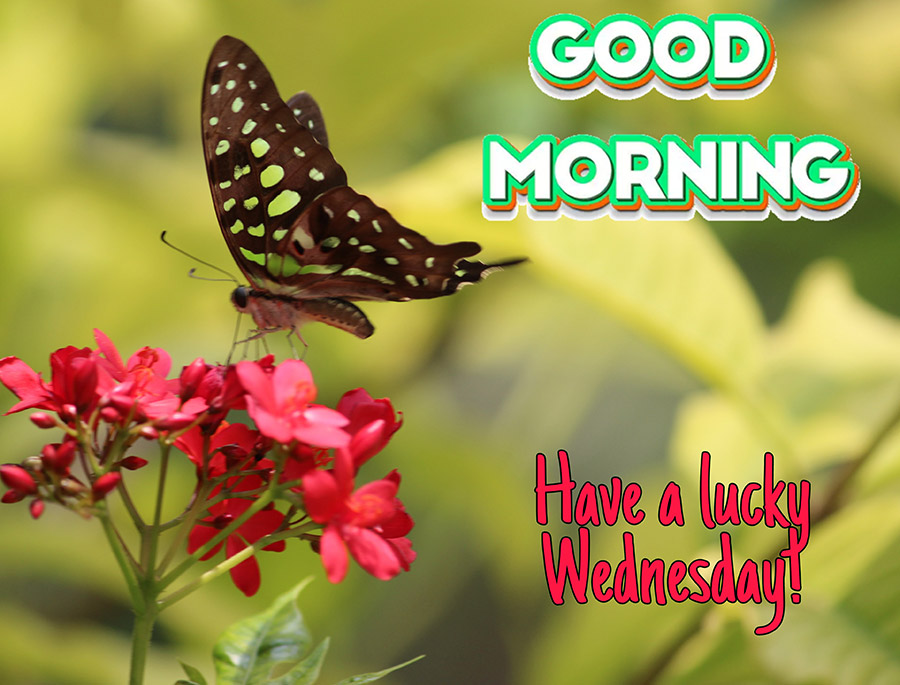 Good morning wednesday image with butterfly perched on red flowers