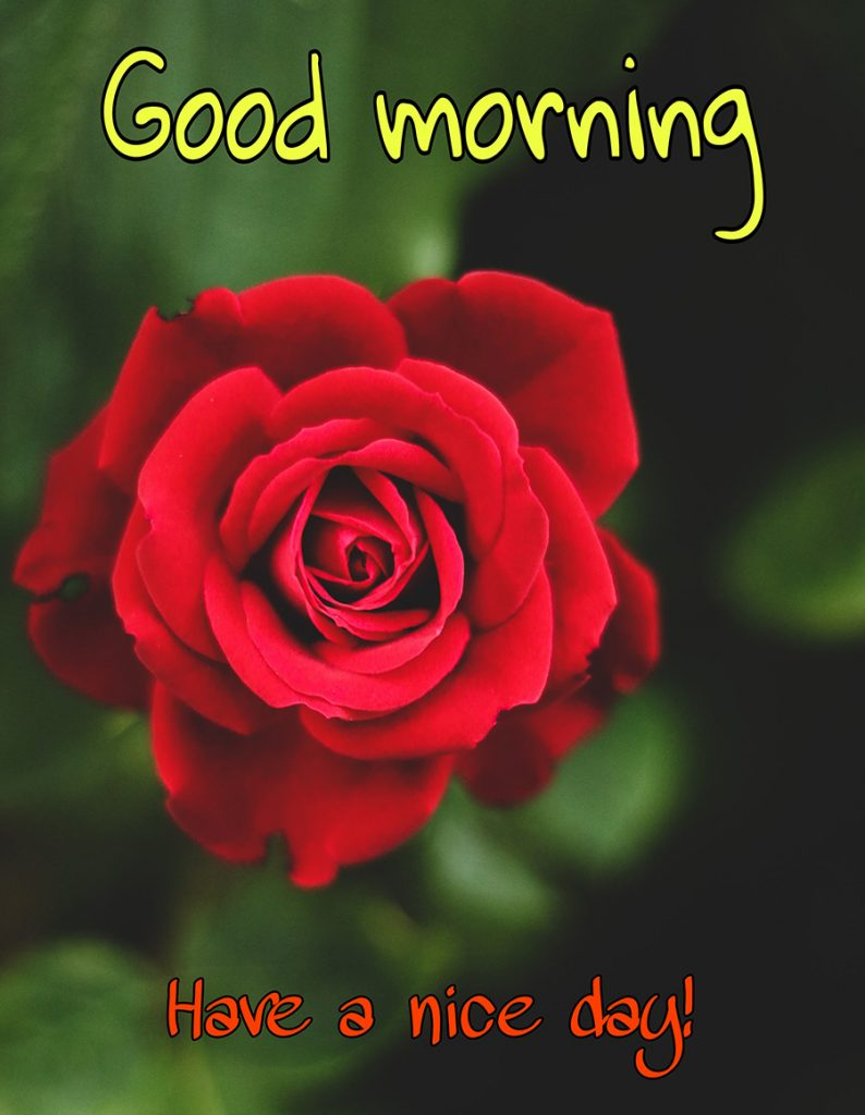 Good morning have a nice day image with red rose