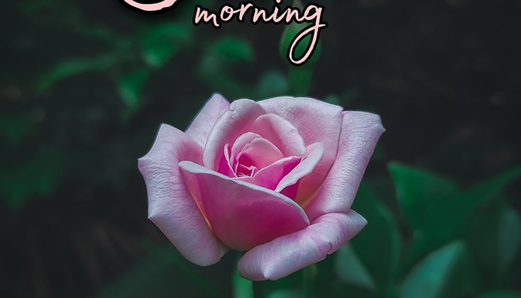 good-morning-my-beauty-with-rose