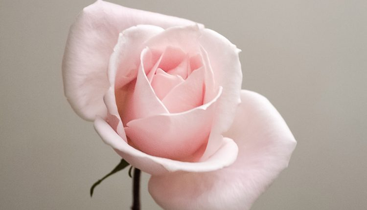 good-morning-rose-picture