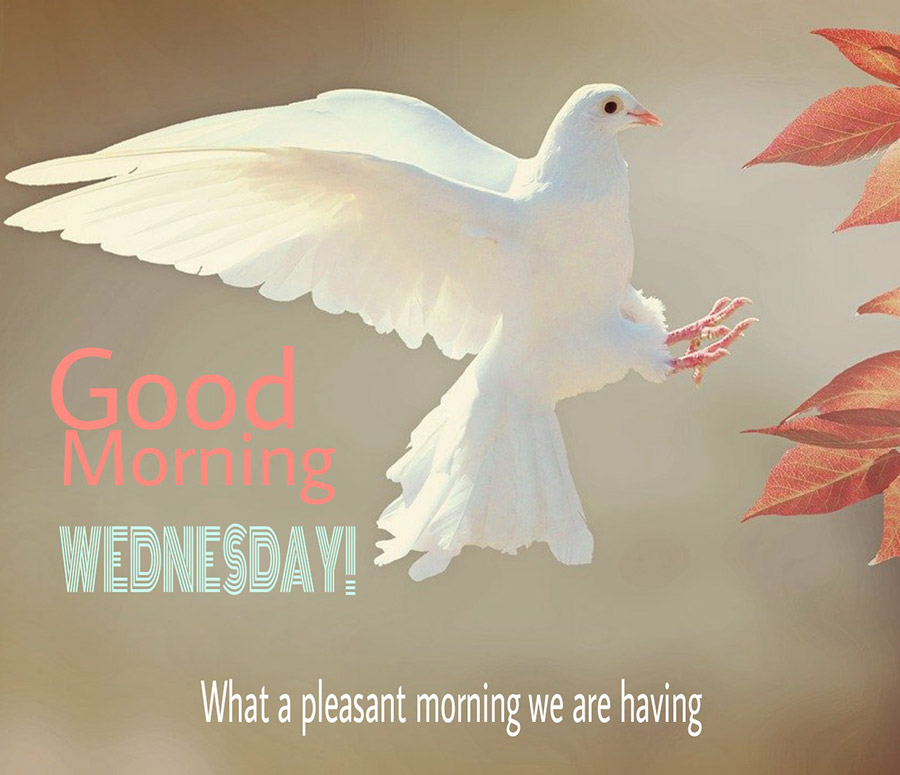Good morning wednesday image with white dove