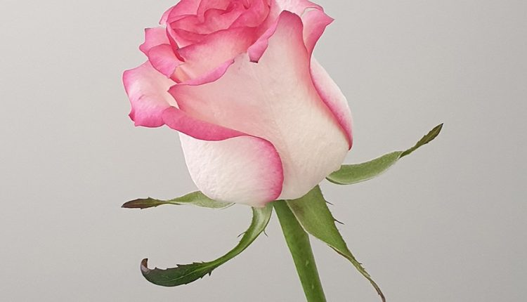 good-morning-with-beautiful-pink-rose