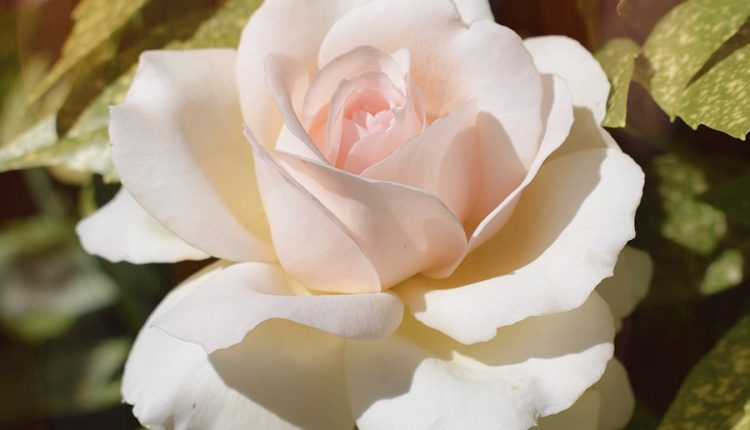 good-morning-with-light-pink-rose