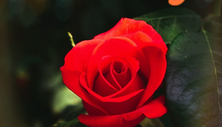 good-morning-with-scarlet-rose