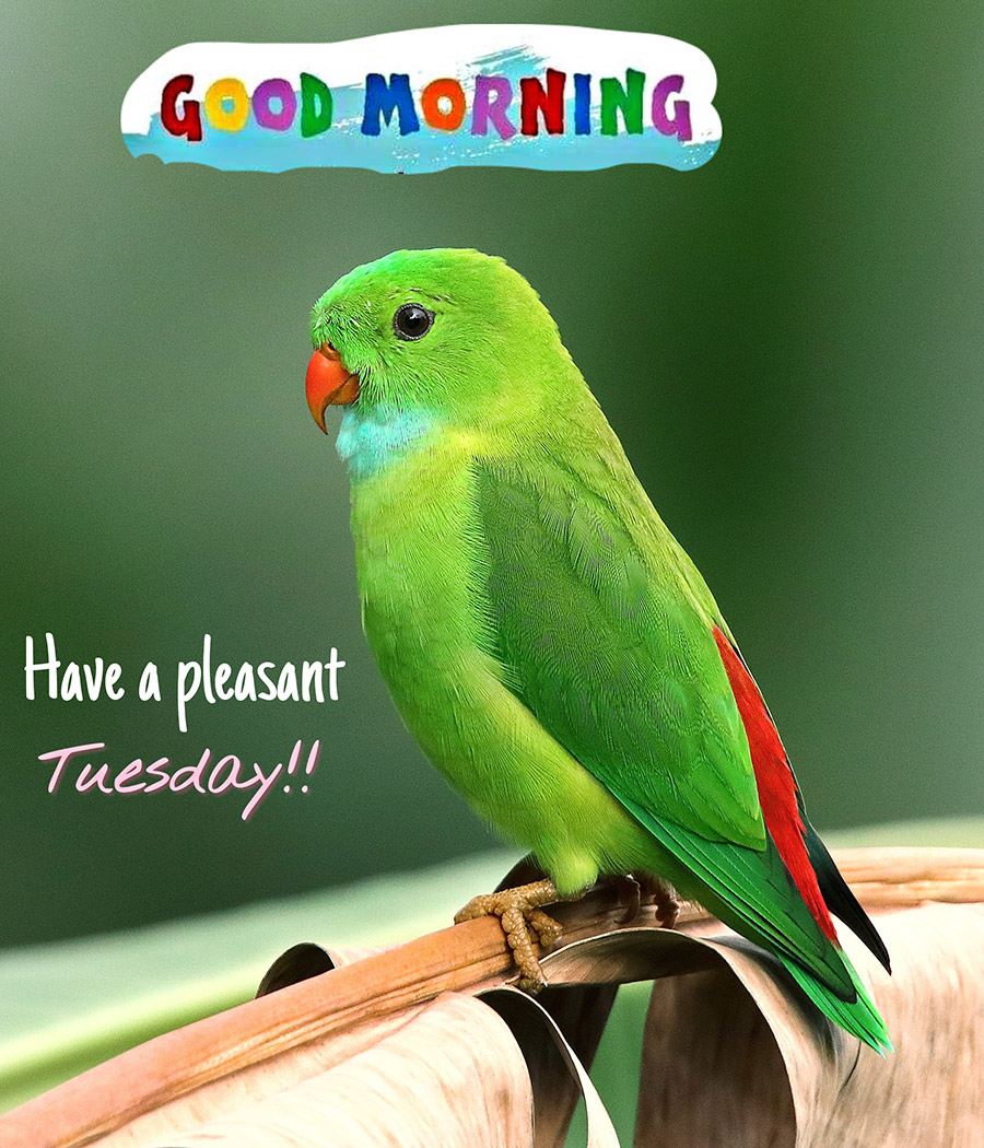 Good morning tuesday image with green parrot