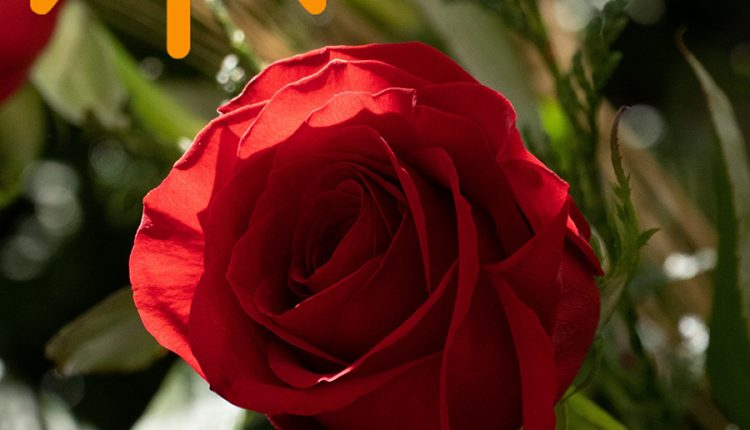 lovely-day-with-rose