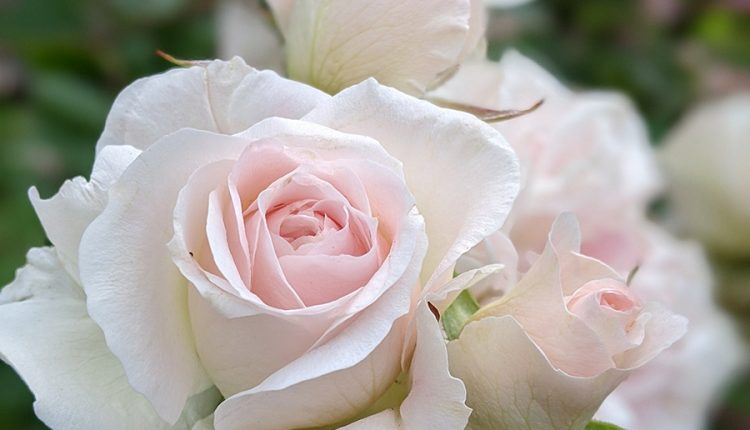 pink-and-white-roses