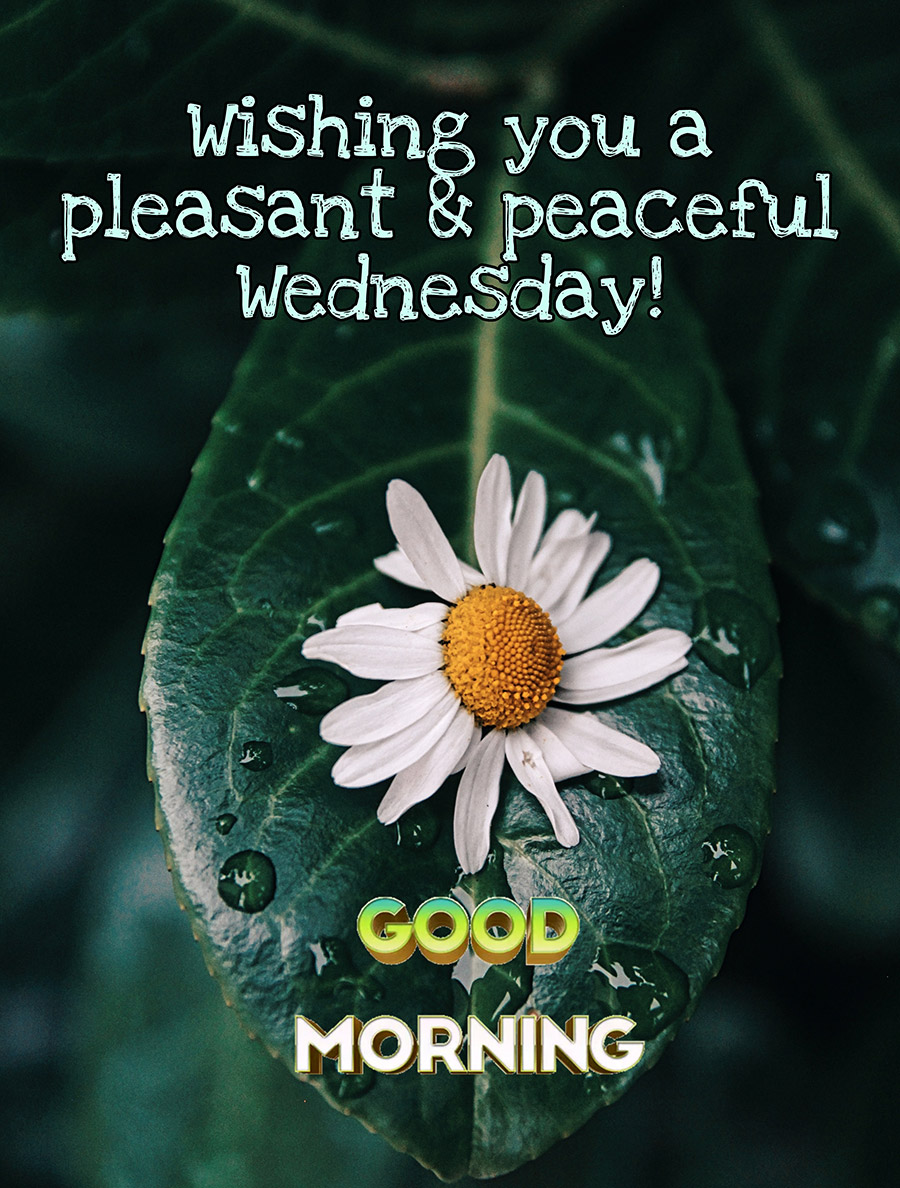 Good morning wednesday image with daisy