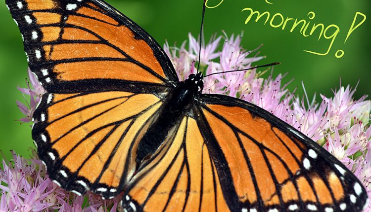 good-morning-awesome-butterfly