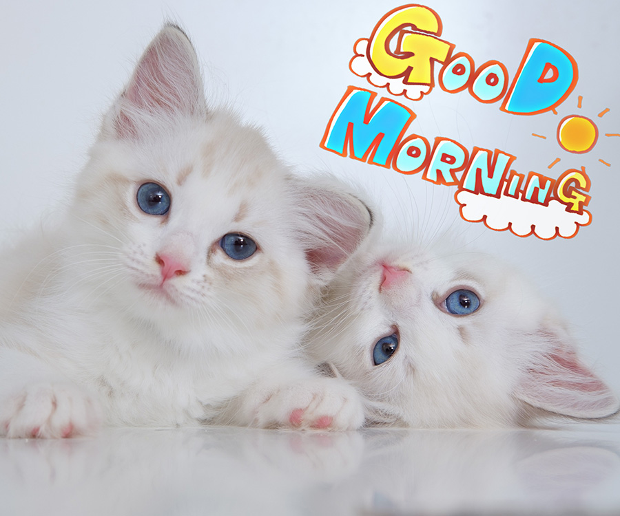 good morning images with 2 cute white cats