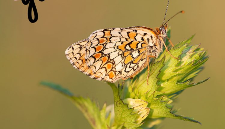 good-morning-butterfly