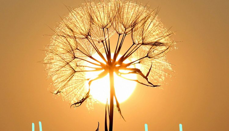 good-morning-image-with-sun-and-dandelion-flower