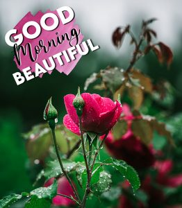 Good morning rain image with roses
